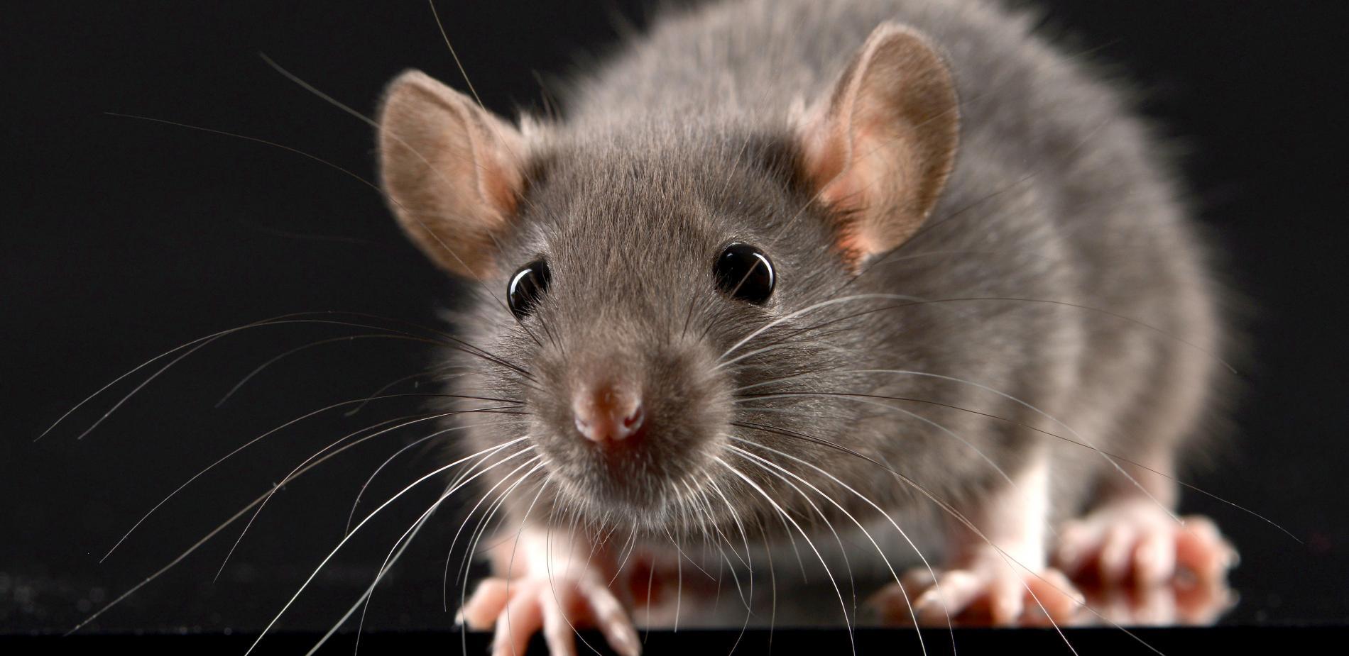 Patkányirtás országosan